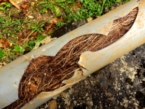 Cracked plumbing pipe clogged with tree roots and other debris.