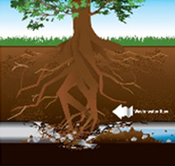 Graphic showing root intrusion breaking a sewer line.